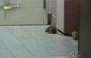 Na rattenvideo meer fastfoodzaken dicht