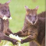 Kangoeroevlees in de ban