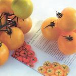 Gele tomaten nog weinig in trek