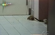 Rattenplaag in fastfoodzaak