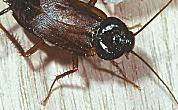 Restaurant veroorzaakt kakkerlakkenplaag