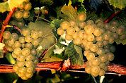 Duitse wijnen bezig aan comeback