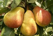 Pizzabakker geeft fruitbomen weg