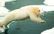 Australian Homemade steunt ijsberen