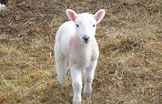 Consumptie lamsvlees stagneert