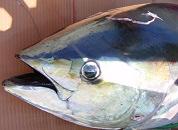 Conferentie over tonijnbescherming