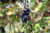 Nederlandse wijnboeren gered door suiker