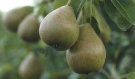 Recordhoeveelheid peren geoogst