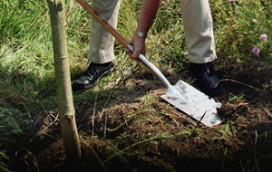 Kooistra plant bomen vanwege ijsbar