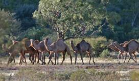 Rotterdams restaurant zet kameel op de kaart