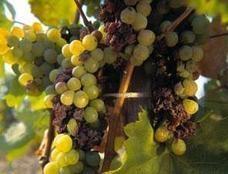 Australische wijnproductie in gevaar door vuur