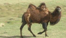 Hamburgers van kamelenvlees in trek