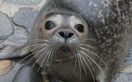 Nederlandse gm adopteert zeehond voor Belgisch hotel