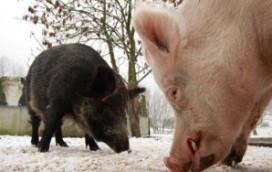 Ibis Amsterdam geeft varkens dak boven het hoofd