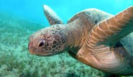 Schildpad verdwijnt nog vaak in de soep