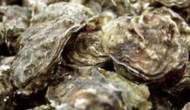 Gemanipuleerde oester bedreigt soortgenoten