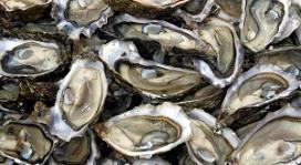 Visprofessor' wil Japanse oester verbeteren