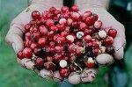 Cranberries: het Goud van Terschelling
