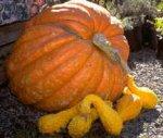 Pompoenen en Halloween