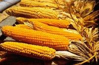 Mais: een wereldgroente