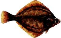 Schol: een makkelijke vis