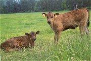 Wagyu: exclusief vlees voor fijnproevers