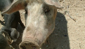 Sardijns varkens