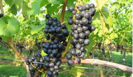 Wijnbouw van de toekomst