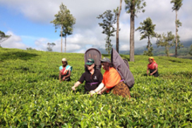 Foto's: Jannis en Claudia Brevet bij Dilmah in Sri Lanka