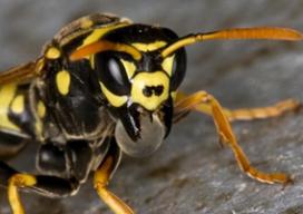 'Slaan naar wespen heeft averechts effect'