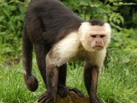 Dronken aap gaat barbezoekers te lijf