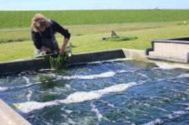 Texel teelt duurzaam truffelwier met zeewater