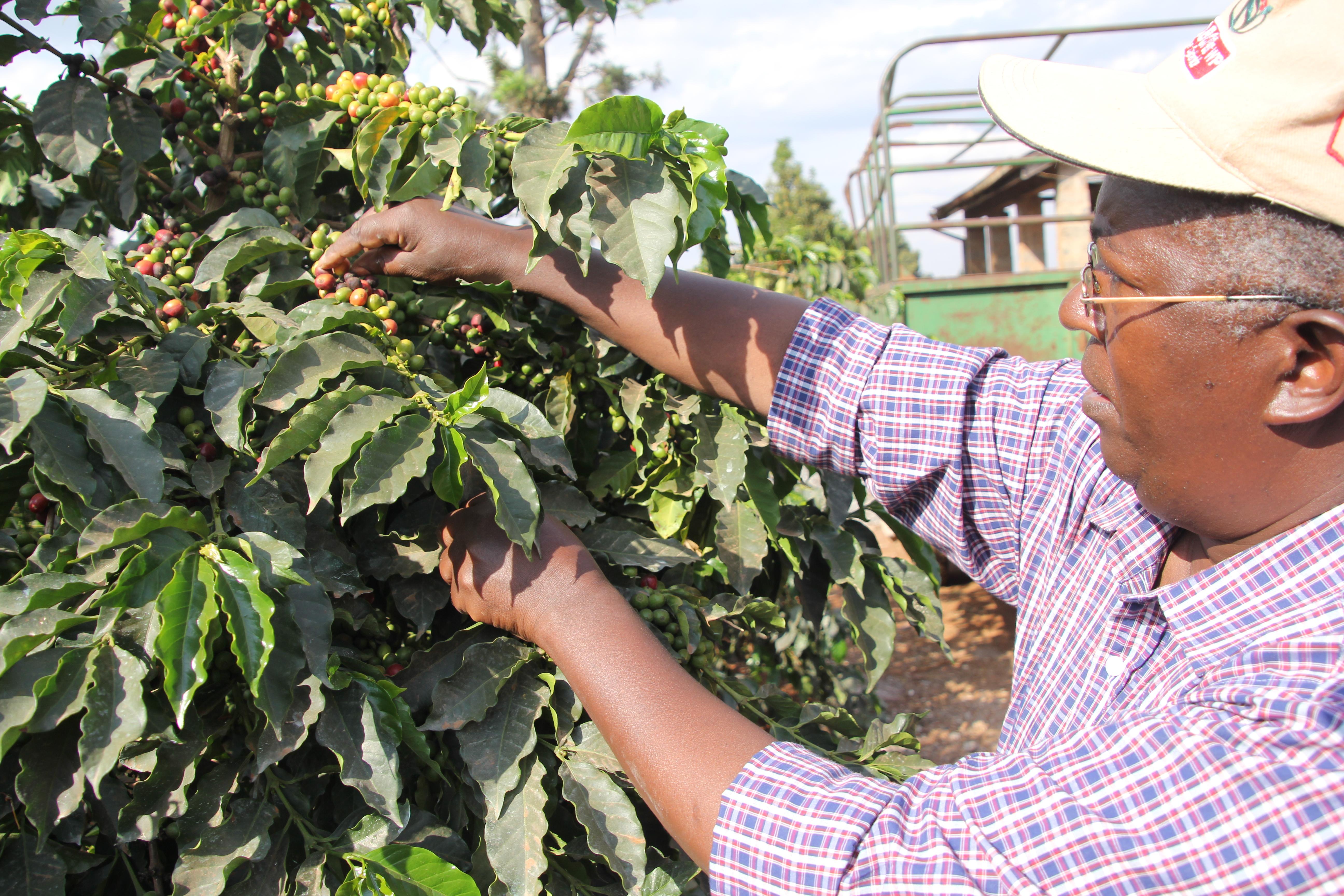 Robert Kamau snoeit zijn koffiestruiken aan de oostzijde