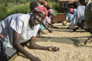 Koffie oogsten in Kenia: naar de oorsprong van de boon