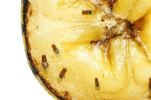 Tips tegen fruitvliegjes in de horeca: Hoe kan je ze weren en bestrijden?