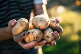 Van Gogh pleit voor landelijk aardappeloogstfeest